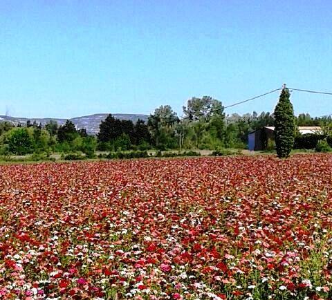 champs oeillets