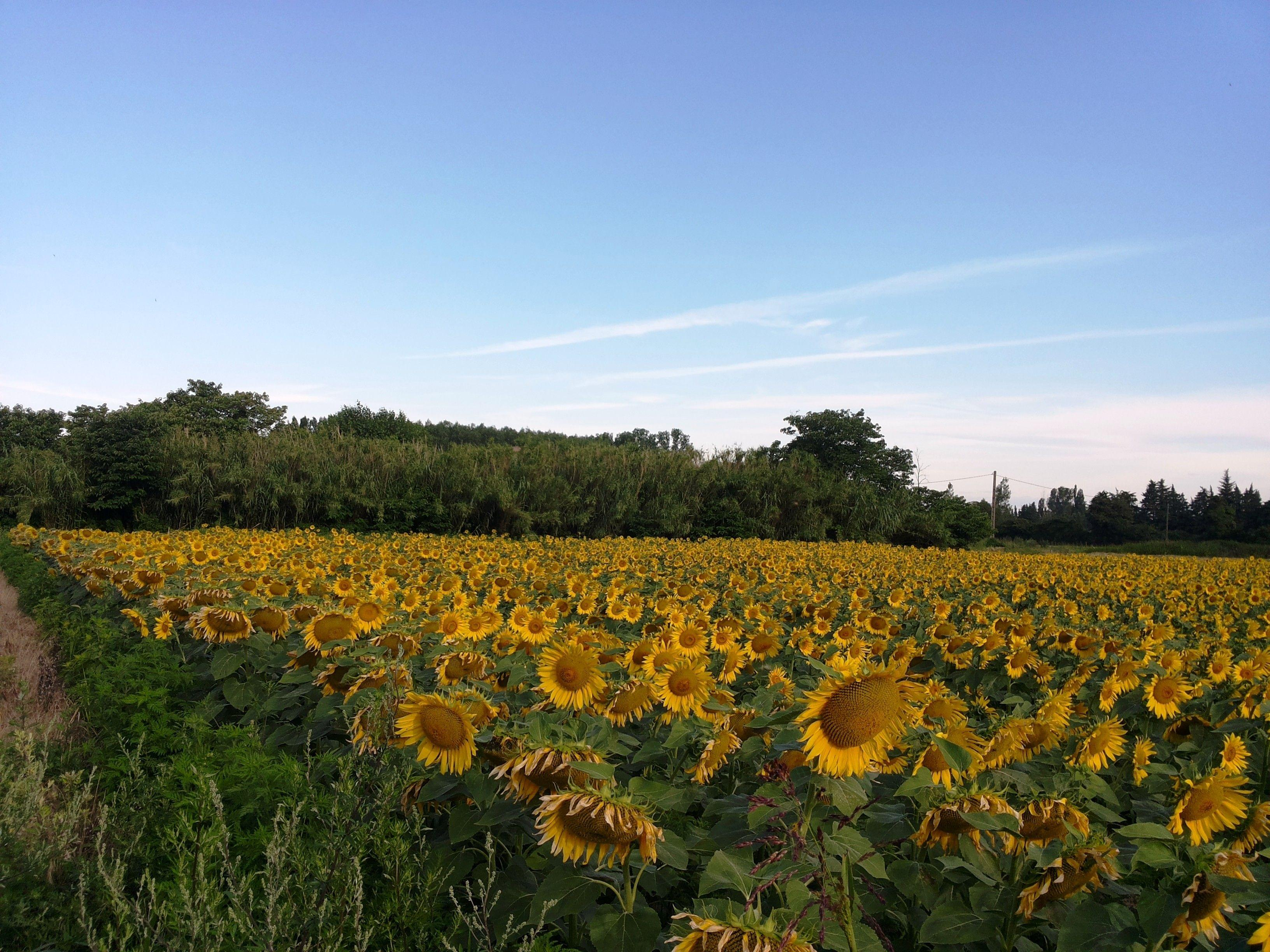plaine de thouzon tournesols